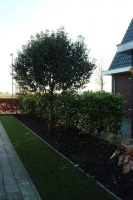 In de nieuwe tuin blijft er plaats voor de Portugese laurier