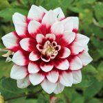 Dahlia's brengen fleur in herfsttuin