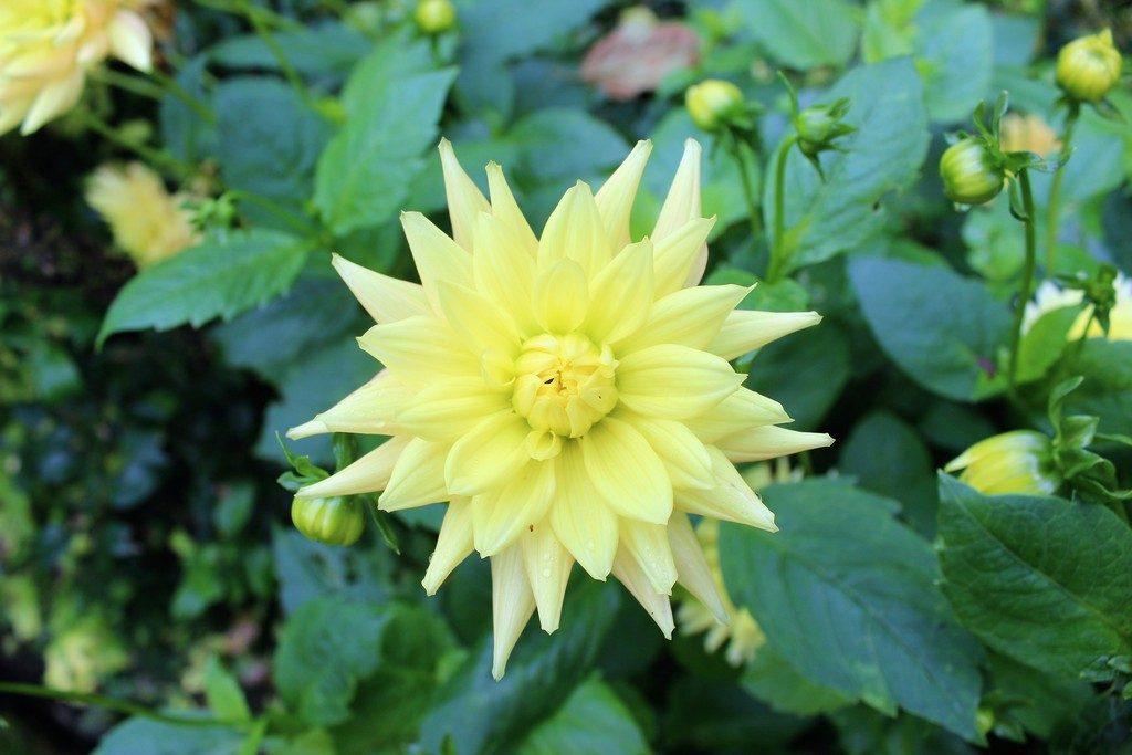 gele dahlia's, bloeiende dahlia