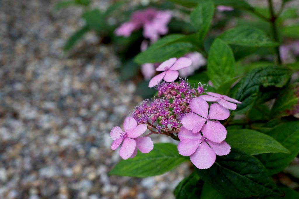 hortensia in grind in natuurlijke tuin