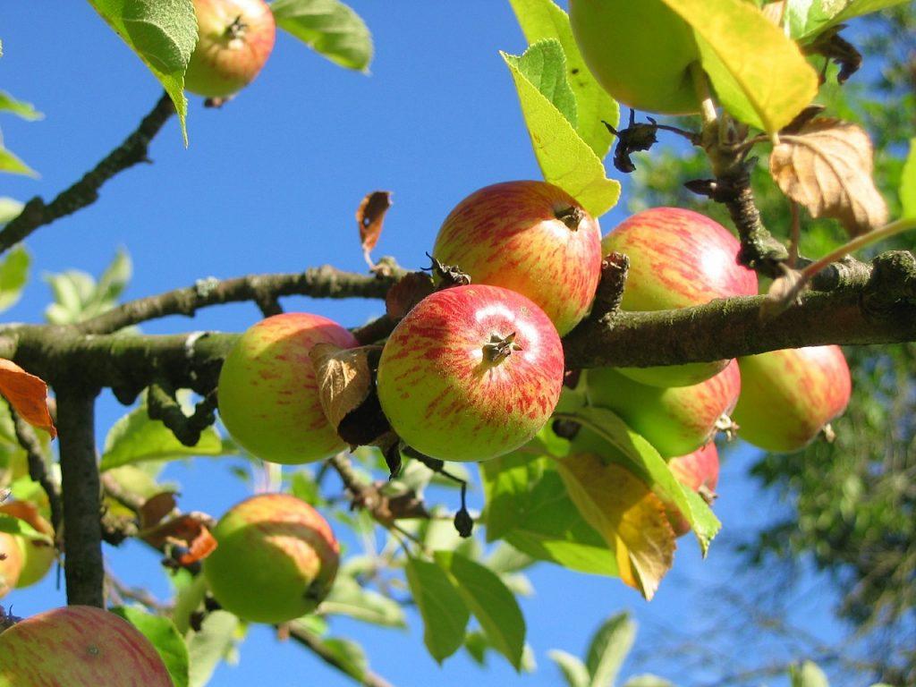 Hovenier Van Tuinen snoeit je fruitboom
