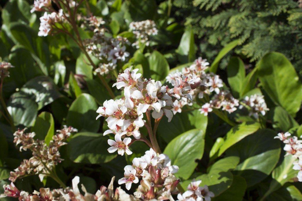 bergenia bressingham white mooie bodembedekker