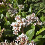 """Bergenia cordifolia """"bressingham white"""""""