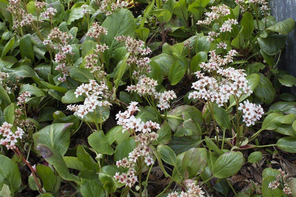 bergenia bressingham white, dankbare voorjaarsbloeier