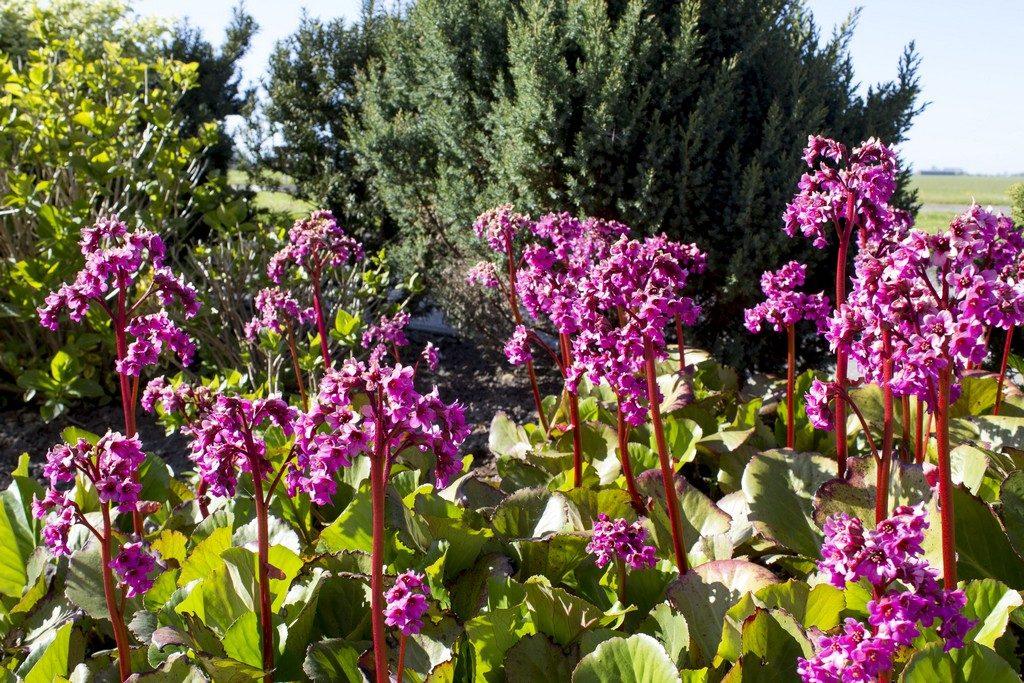 bergenia cordifolia, een van de vele cultivars
