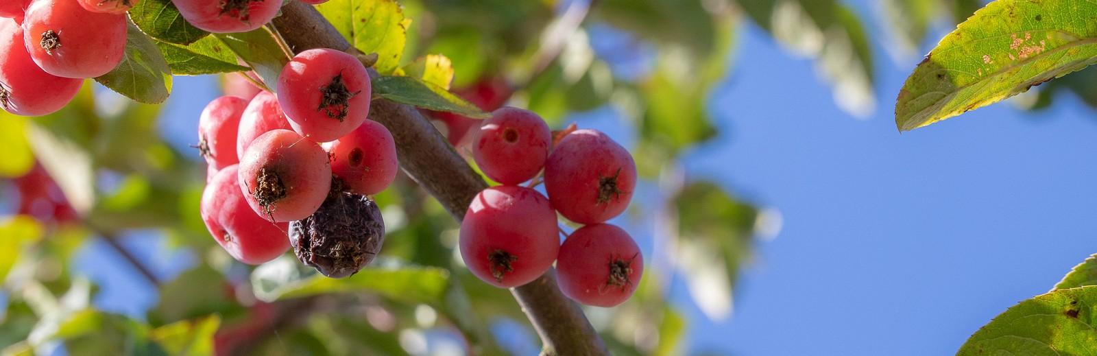 afbeelding bij bessen aan boom