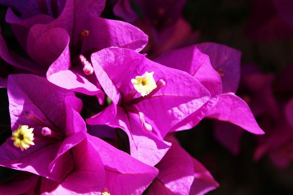 afbeelding bij zomertopper bougainvillea