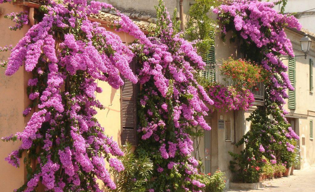 afbeelding bij bougainvillea italie