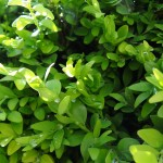 Bescherm je Buxus tegen ziektes