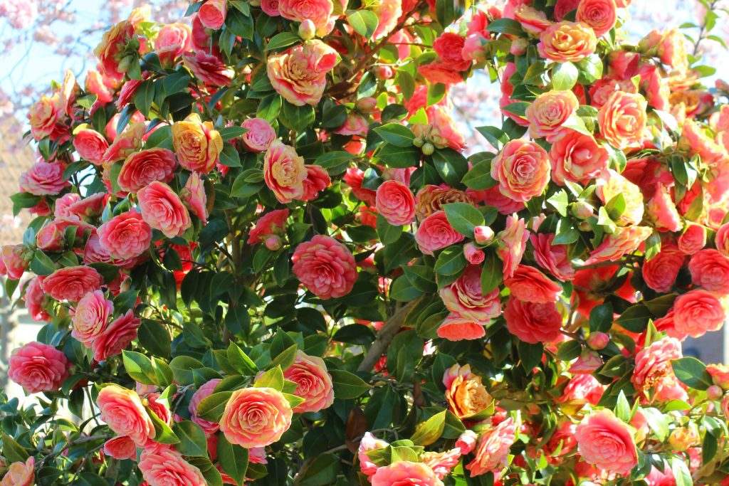 camellia japonica - japanse roos