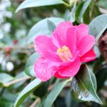 camellia japonica - japanse roos