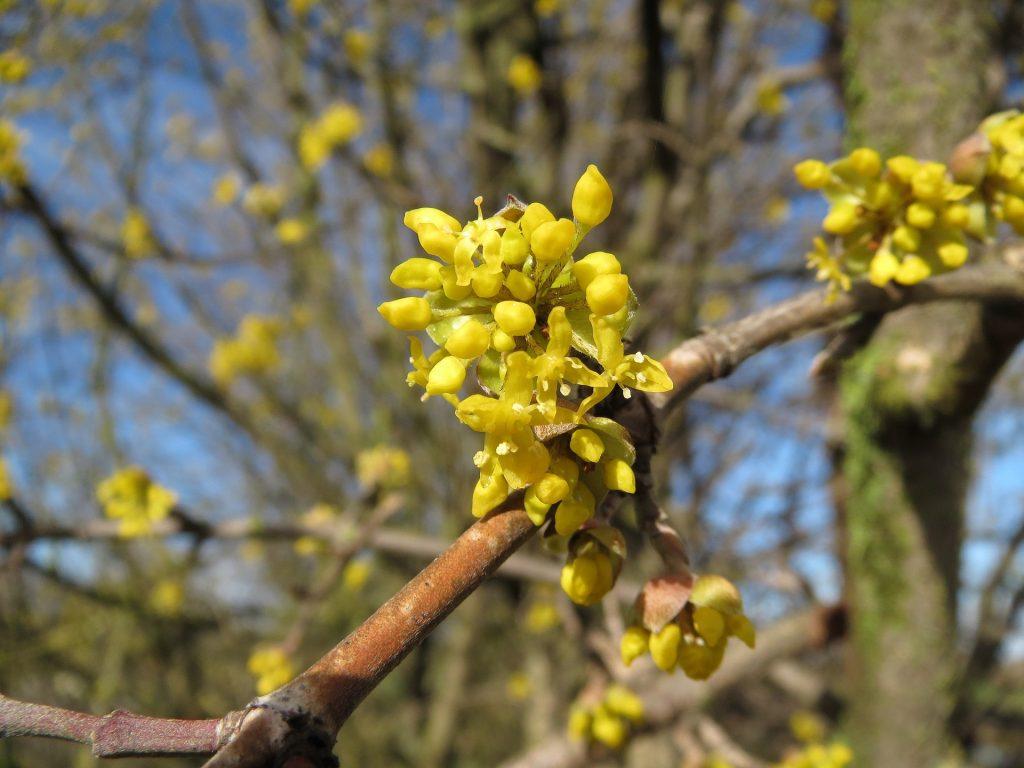 Cornus mas (gele kornoelje) bloeit in de winter