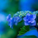 hydrangea - hortensia blauw