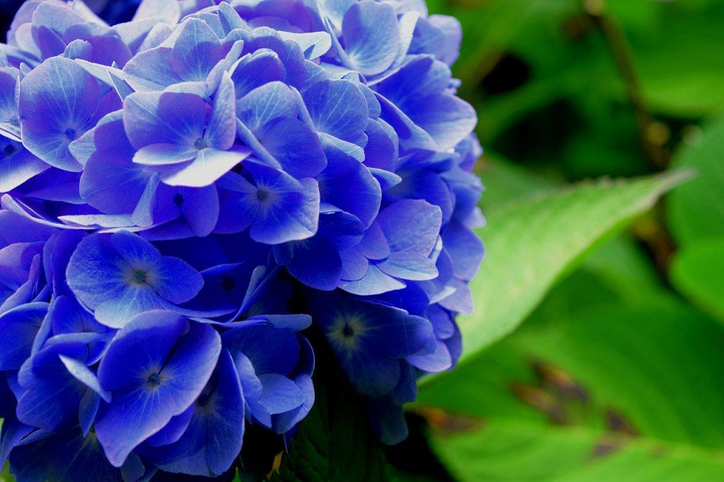 afbeelding bij hydrangea blauw hortensia