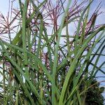 Miscanthus sinensis 'Ferner Osten': herfstbloeier met mystiek