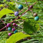 Porseleinbes (sierwingerd) opvallend tuinsieraad in de herfst