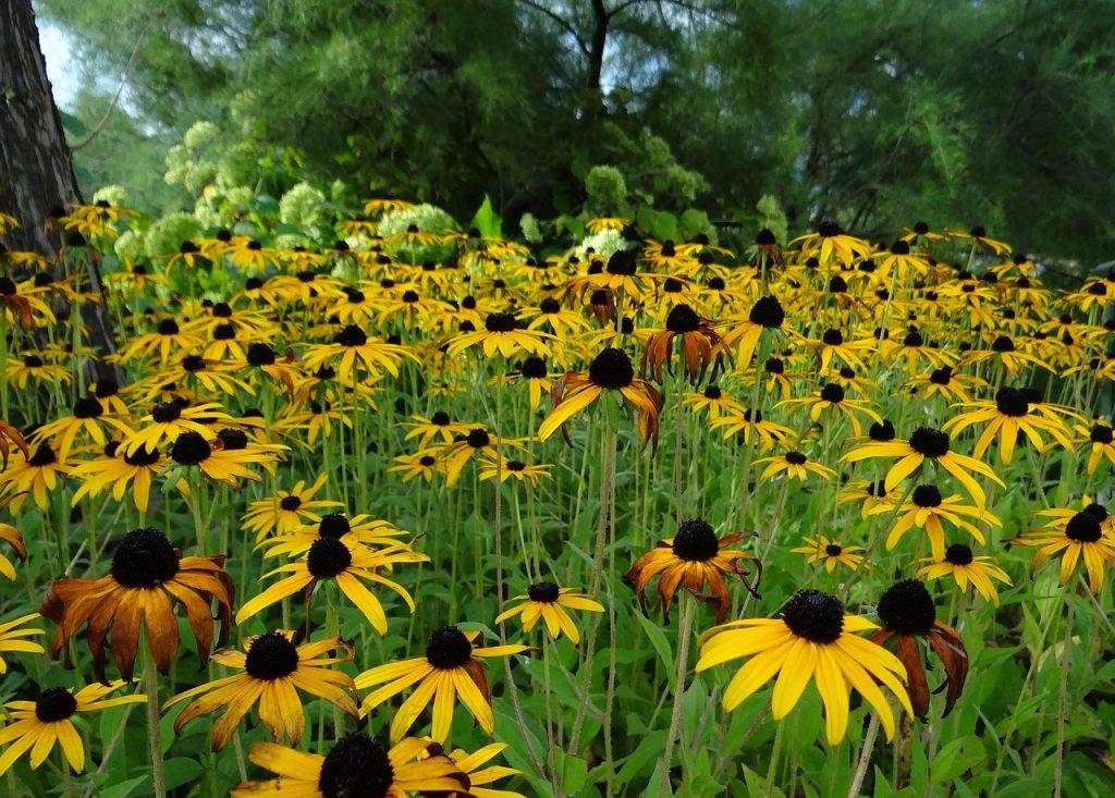Zonnige bloem voor op de kleigrond: Rudbeckia fulgida (Zonnehoed)
