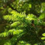 Verzamel snoeiafval Taxus Baccata