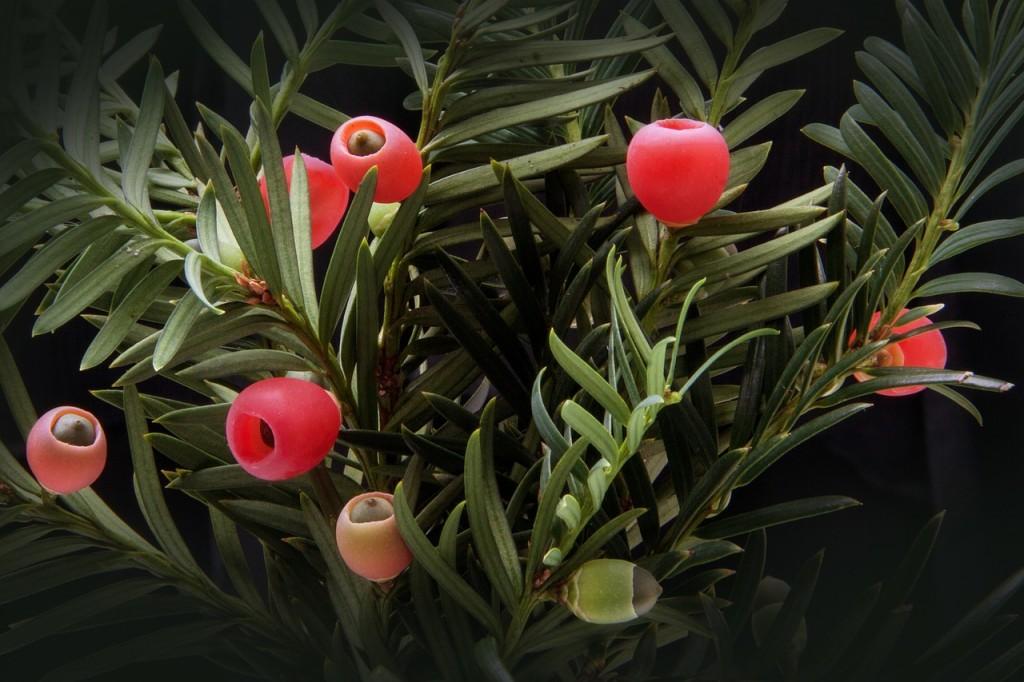 Van Tuinen Tuinservice verzamelpunt snoeiafval Taxus baccata voor chemokuren