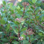Viburnum tinus: populaire winterbloeier