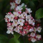 afbeelding bij viburnum burkwoodii mohawk