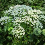 zevenblad - tuinmansverdriet